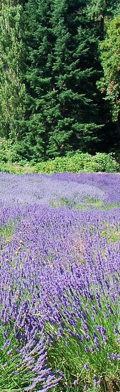 VERY good tips on growing lavender: Grow Lavender Like the French - 7 Easy Tips for Anyone! Herb Garden, Garden Plants, Easy Garden, Beautiful Gardens, Beautiful Flowers, Growing Lavender, Valensole, Lavender Fields, My Secret Garden