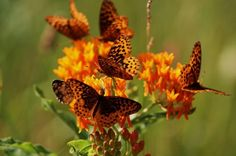 Butterfly Gardening Plans: For a fun twist, plant flowers that attract butterflies in a butterfly-shaped bed! We've got two plans for you to try. birdsandblooms.com Garden Care, Gardening For Beginners, Gardening Tips, Fairy Gardening, Flower Gardening, Flowers That Attract Butterflies, Butterfly Plants, Simple Butterfly, Gardening Photography