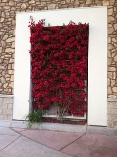 A metal trellis keeps thee bougainvillea tidy and manageable.