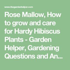 Rose Mallow, How to grow and care for Hardy Hibiscus Plants - Garden Helper, Gardening Questions and Answers