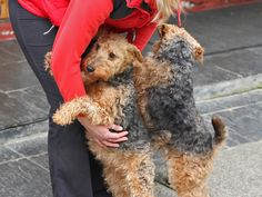 Sweet 2 year old Welsh Terrier sisters, Gwen and Maggie