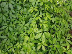 Jiaogulan Tee gilt als Lebenselixier. In mehr als 100 Studien wurden seine lebensverlängernden Fähigkeiten belegt. Jiaogulan Tee hemmt Krebs, verbessert die Funktionen von Herz, Leber, Nieren, Bauchspeicheldrüse, Nebennieren und verjüngt die Haut und vieles mehr. Erfahren Sie mehr über Jiaogulan. HIER LESEN. Jiaogulan Tee, Superfoods, Parsley, Herbs, Red Wine, Adrenal Glands, Plants, Life, Health