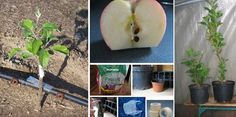 Learn How You Can Grow Your Own Apple Trees From Seeds