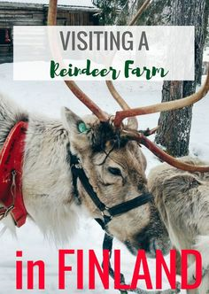 "Visit a Reindeer Farm in Finland For The Cutest Day Ever  I would imagine just the thought of seeing reindeer would already have you interested, and you are already pretty much dying to play with some reindeer (no? just me?). But, in case you're not, these other photos will serve as more reasons to visit a reindeer farm in Finland.  It's basically Christmas again and you get ""all the feels"" as it's so popular to say – and now I actually understand that saying!"