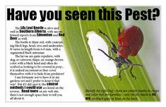 Learn about common pests and diseases which affect lilies and lily gardens. Topics include lily beetle, botrytis, aphids and more. Lily Beetle, Red Beetle, Bug Control, Pest Control, How To Get Rid, How To Remove, Bug Off, Red Plants, Lily Garden