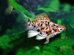 Platy Tropical Fish