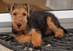 Welsh Terrier | by lapideo