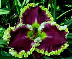 Daylily Bella Note Priece. Would almost get me to buy it. :)