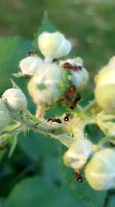 Dandelion, Flowers, Plants, Pictures, Animales, Dandelions, Plant, Taraxacum Officinale, Royal Icing Flowers