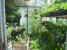 Greenhouse Envy/Inspiration:  These pictures show off what a simple passive solar greenhouse can do!