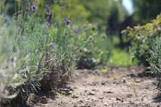 Blossom of our lavenders