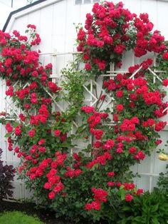 Escalada Rose Pequeno projeto Jardim Vertical