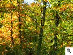 Bosque caducifolio (clima oceánico) Se llama caducifolio porque los árboles son de hoja caduca (los más importantes son el roble, la haya y el olmo) Así ...