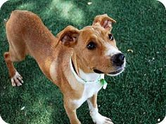 Phx, Az.      Breed:    American Pit Bull Terrier Mix    Color:    Unknown    Age:    Puppy        Size:    Med. 26-60 lbs (12-27 kg)    Sex:    Female     ID#:    4953804      I am already spayed.    A3194638's Story...       Act quickly to adopt A3194638. Pets at this shelter may be held for only a short time