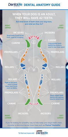 Looking for guidance in understanding your dog's teeth? Take a look at our canine dental chart. Teething Chart, Vet Tech Student, Dental Anatomy, Tooth Chart, Vet Assistant, Vet Med, Veterinary Technician, Veterinary Receptionist, Training