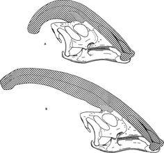 Parasaurolophus skulls - Parasaurolophus - Wikipedia   Ostrom, John H. - http://digitallibrary.amnh.org/dspace/handle/2246/1260 Schedels van Parasaurolophus cyrtocristatus (boven) en Parasaurolophus walkeri (onder)  Diagram comparing the narial crests of Parasaurolophus cyrtocristatus (a) and Parasaurolophus walkeri (b).