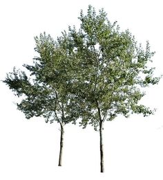 3653 x 4026 Pixels PNG, with transparent background. Cutout photo of white poplar tree group, with transparent background. Populus alba Commonly called abele, silver poplar, silverleaf poplar, white poplar. Native to Moroco, Iberian Peninsula, central Europe to central Asia.