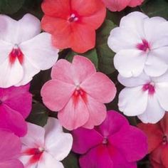 Impatiens Late Spring-Fall