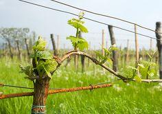 rašící réva Vine Trellis, Fruit Plants, Garden Trees, Backyard Landscaping, Grape Vines, Rv, Flora, Landscape, Gardening