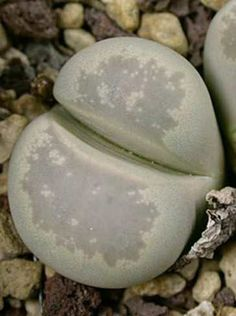 Lithops optica - Living Stones
