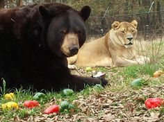 Baloo, checking out some donated peppers! Leo just watching closely…
