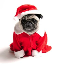 Santa pug says Merry Christmas!