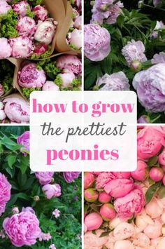 "Peonies are one of my very favorite flowers, but you can tell me that I sound exactly like everyone else! Peonies are gorgeous, and I look forward to noticing the blooms on bush outdoors. However, despite their beauty, peonies are known for being a bit ""finicky."" Here's how to grow the prettiest peonies, with very … Read More"