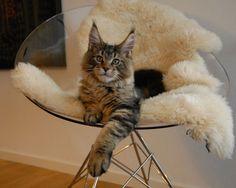 Maine Coon-katten :: Visa ämne - S*Coppermines X-Box 4 månader