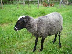 Romanov Sheep Sheep Breeds, Homestead Farm, Sheep And Lamb, History Facts, Livestock, Farm Animals, Goats, Horses, Cute