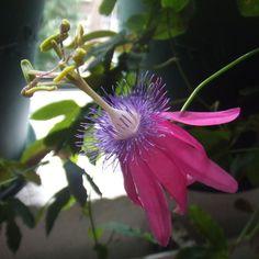 http://jungletropicale.com/2016/11/passiflora-kermesina/    #jardinage #fleurs    Cliquer l'image pour lire l'article.