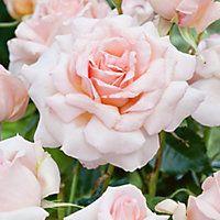 bbb09cc3d83e4ce85d4bf1af48ab31cf hybrid tea roses purple roses