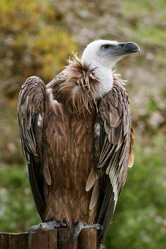 griffon vulture portrait 1 by Genaro Diaz photographs on Creative Market