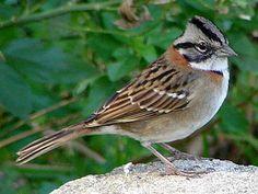 Bird Sketch, Little Birds, Colorful Birds, Fauna, Bird Species, Bird Watching, Bird Feathers, Beautiful Birds, Animals And Pets