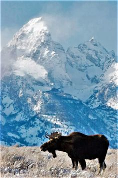 Another great shot of a moose with the Tetons in the background.