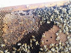 Poate cea mai buna metoda de stimulare a pontei la albine Mai, Bees