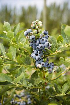 Uprawa borówki amerykańskiej Easy Garden, Herb Garden, Fruit Garden, Garden Plants, Blueberry Picking, Depth Of Field, My Secret Garden, Garden Gates, Pacific Northwest