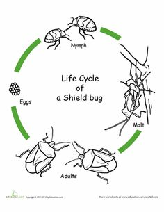 clown bug's life cycle  life cycle of insects living