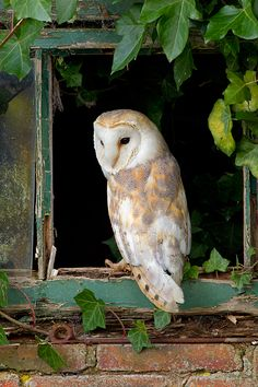Image from http://www.philmclean-photography.co.uk/blog/wp-content/uploads/2014/11/Barn-Owl-in-ivy-window..jpg.