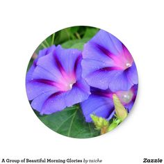 A Group of Beautiful Morning Glories Classic Round Sticker  | #S6GTP ~ Created by one of my friends  at  #Zazzle ~ by Taiche