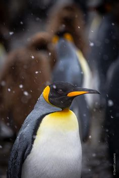 Penguins by David Lamberti on 500px