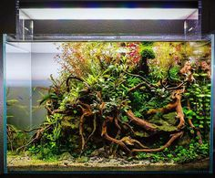 Beautiful nano planted aquarium by Luis Cardoso from Portugal, powered by Aquaflora plants. #Aquaflora #Aquascaping #planted #aquarium #aquatic #plant #freshwater #plantedtank #aquascape #plantedaquarium