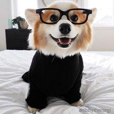 "Puppies Pics on Twitter: ""Tibby the corgi… """