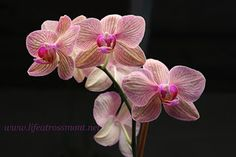 Life at Rossmont: O is for Orchid