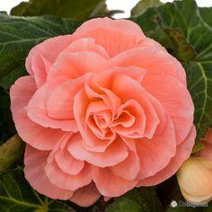 Peach Roseform Begonia