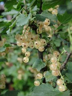 White currant, the Grow Guide from growveg.com