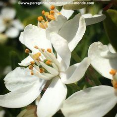 Petites #fleurs #blanches en ce début de #printemps.