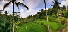 #bali #ubud #ricepaddy