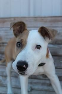 Meet Fairy, a Petfinder adoptable Pit Bull Terrier Dog | Yukon, OK | Darling pit mix puppy, full of puppy love and energy, about 3 1/2 months old.$100.00 adoption...