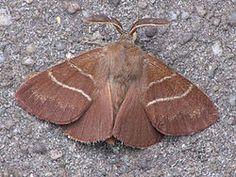 Macrothylacia rubi the fox moth