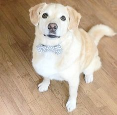 Bright Zig Zag Bow Tie and Collar for Pets Bow Ties, Labrador Retriever, Dog Cat, Pets, Trending Outfits, Handmade Gifts, Animals, Labrador Retrievers, Kid Craft Gifts